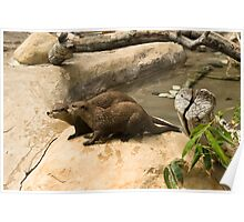 Asian small-clawed Otter. Poster