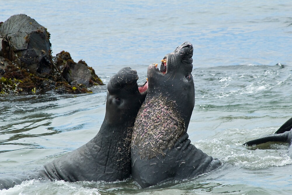 Elephant seals sparing on the beach by David Jones