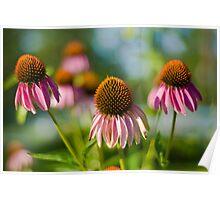 """Echinacea""  aka ""Cone Flowers"" Poster"
