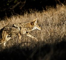 Coyote hunting in the prairie grass. by David Jones