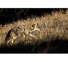 Coyote hunting in the prairie grass. Photographic Print