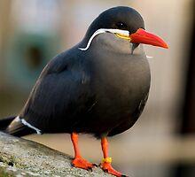 Inca Tern by Daveart