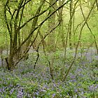 Bluebell Woods 1 by Sarah Ellender