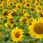 Sunflowers by Sarah Ellender
