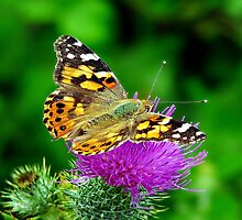 Painted Lady Butterfly on thistle. by ScenicViewPics