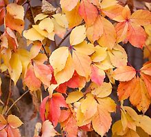 vine yellow red leaves  by Arletta Cwalina