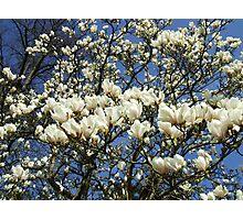 Magnolia Sky Photographic Print