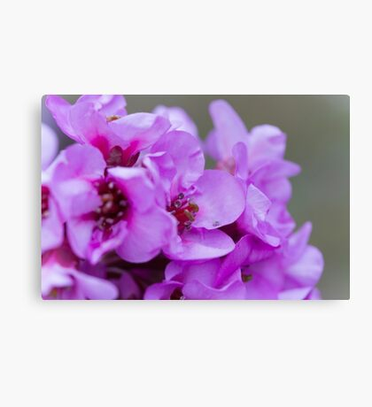 pink flower in spring Canvas Print