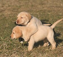 Yellow Lab Puppies by mklue