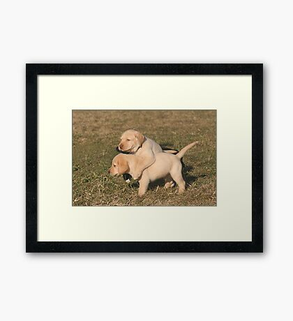 Yellow Lab Puppies Framed Print