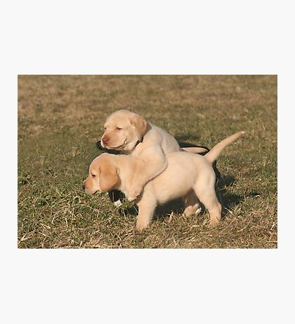 Yellow Lab Puppies Photographic Print