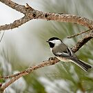 Winter Chickadee by Michael Cummings