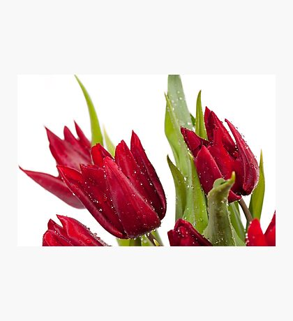Red tulip heads sprinkled Photographic Print
