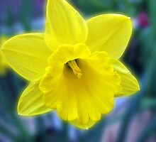 Vibrant Golden Daffodil by MidnightMelody