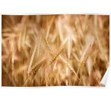 Golden ripe cereal ears grow Poster