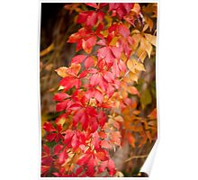Vitaceae family red plant  Poster