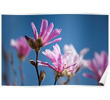 Vibrant pink Magnolia flowers Poster