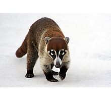 Coatimundi Photographic Print
