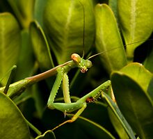 Praying Mantis (adult) Archimantis latistya by Colin  Ewington