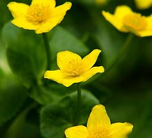 Marsh Marigold Flowers by Christina Rollo