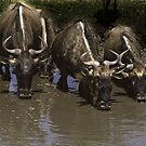 Wildebeeste quenching thirst - Tanzania, Africa by Bev Pascoe