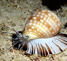 Zebra Cowry by Carolien Mermans