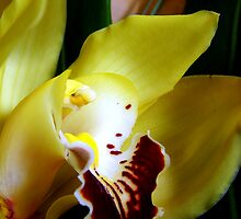 Close up on a Cymbidium by sstarlightss