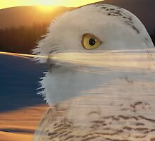 Snowy Owl by Ted Widen