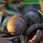 a close look at acorns by Paul Doucette