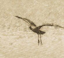 Glossy ibis flying dynamics  by Yevgeni Kacnelson