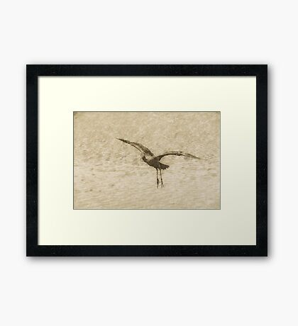Glossy ibis flying dynamics  Framed Print