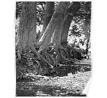 Cypress Trees On The Frio River Poster