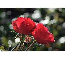 roses in bokeh sea Photographic Print