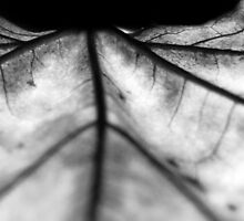 Black & white leaf 2 by IntimateImages
