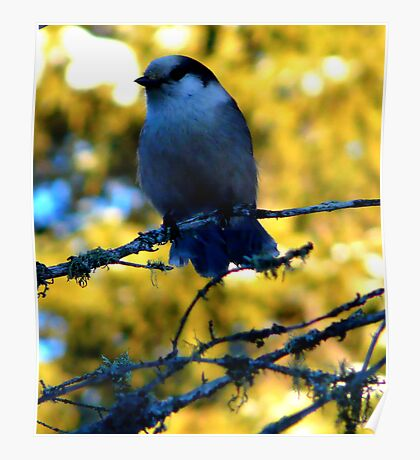 Canada Jay. Poster