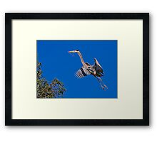 Great Blue Heron 10 Framed Print