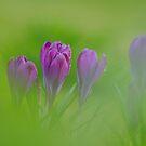 Meadow crocuses blooming  by miradorpictures