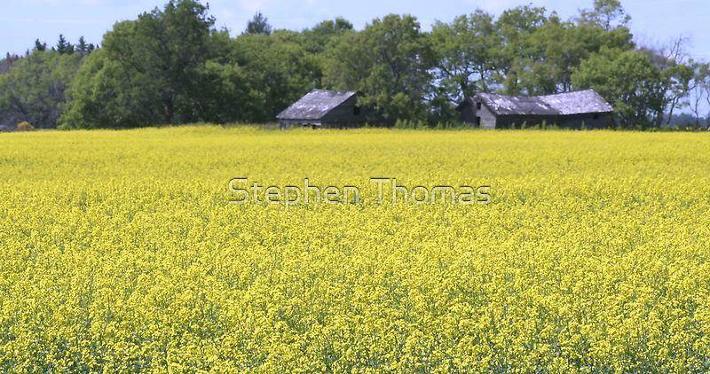 Two old dilapidated farm buildings standing on the edge of a field of canola in bloom on a sunny day in July. by Stephen Thomas