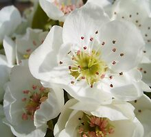 Pear Blossoms by Artlife