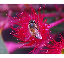 Red Bee Photographic Print