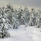 winter pine forest by vkph