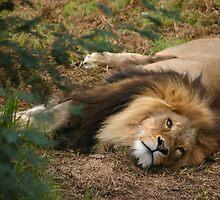 Lion by smallan