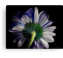 Rainy blue gerbera shining Canvas Print