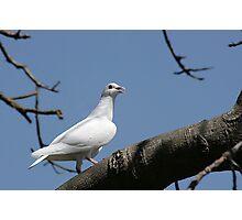 The white pigeon Photographic Print