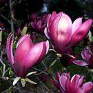Magnolia, Port Wine by Bev Pascoe