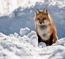 Red Fox Posing by mctuba