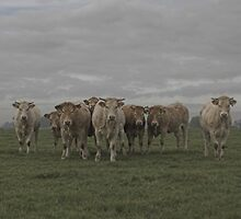 dutch cows  by dutchlandscape