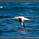 Gannet near the Isle of May by Shaun Whiteman