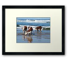 Cattle at shore line at Kings run north of Arthur River in far nor west Tasmania Framed Print