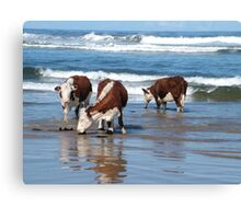 Cattle at shore line at Kings run north of Arthur River in far nor west Tasmania Canvas Print